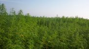 Industrial Hemp Can Boost Economy, Cut Pollution