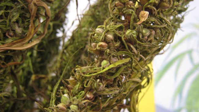 Illegally Green: Environmental Costs of Hemp Prohibition
