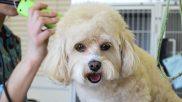 California Barking Up the Wrong Tree with Pet Groomer Licensing Bill