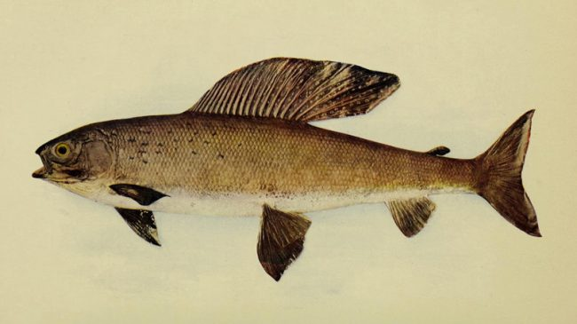 Victory! Montana Grayling not Listed under Endangered Species Act in a Win-Win for Fish and Landowners. Groups Focused on Lawsuits, not Conservation, Unhappy