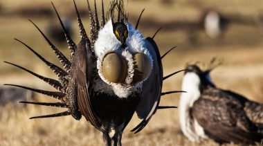 Map and State-based Conservation Plans Refute Popular Narrative that Sage Grouse Needs Endangered Species Act Protection