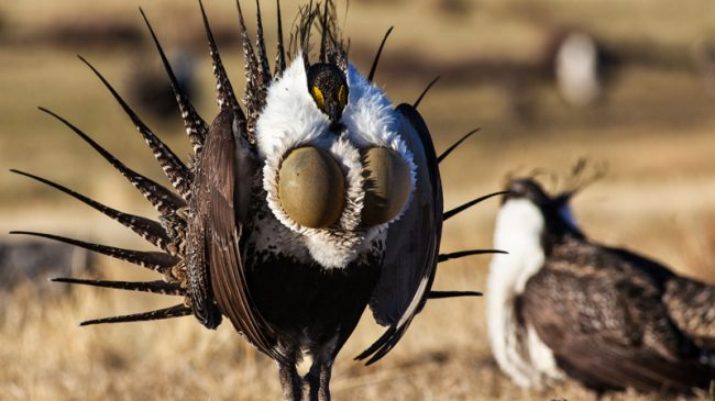 The Saga of the Gunnison Sage Grouse and Why it Matters
