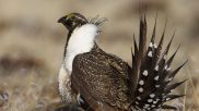 The Best and Worst Parts of the Decision Not to List the Sage Grouse as Endangered