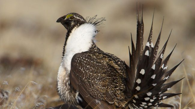 Sage Grouse Protections Don't Depend on the Endangered Species Act