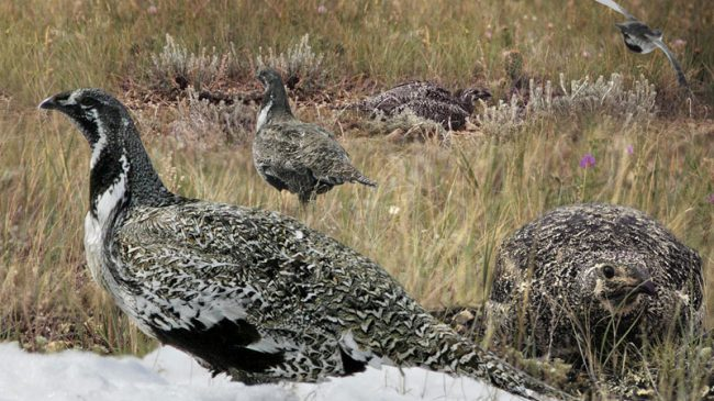 Sage Grouse Conservation: The Proven Successful Approach