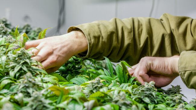 State Residency Requirements For Legal Marijuana Markets Are Unconstitutional